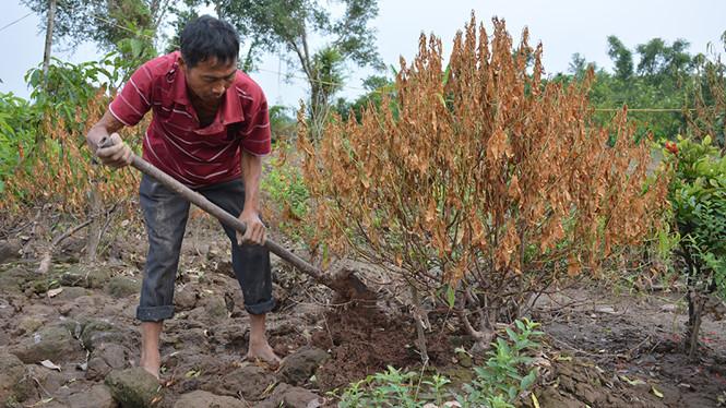 Nam Định mất trắng vụ đào, quất