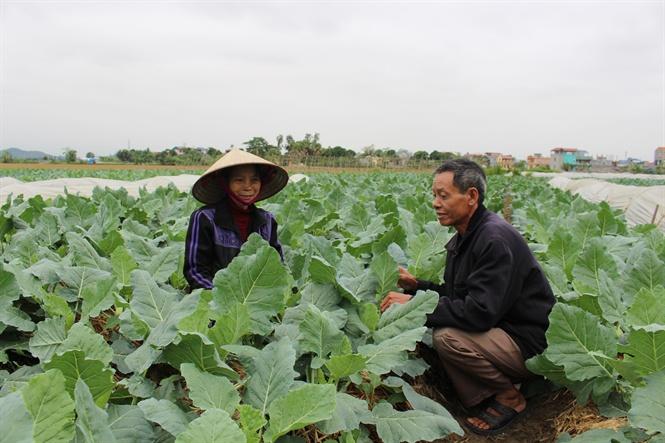 Rau sạch Yên Dương, Ý Yên: Ngon tại giống, sạch tại tâm