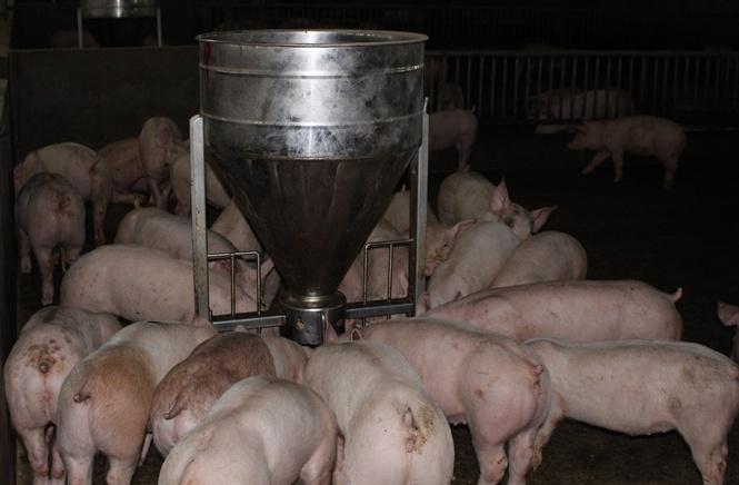 Chăn nuôi an toàn dịch bệnh hướng tới xuất khẩu