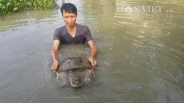 Nam Định: Nuôi ba ba khổng lồ, mỗi năm kiếm hơn nửa tỷ đồng.