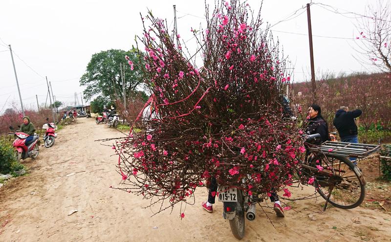 Nhộn nhịp làng trồng đào tết lớn nhất Nam Định