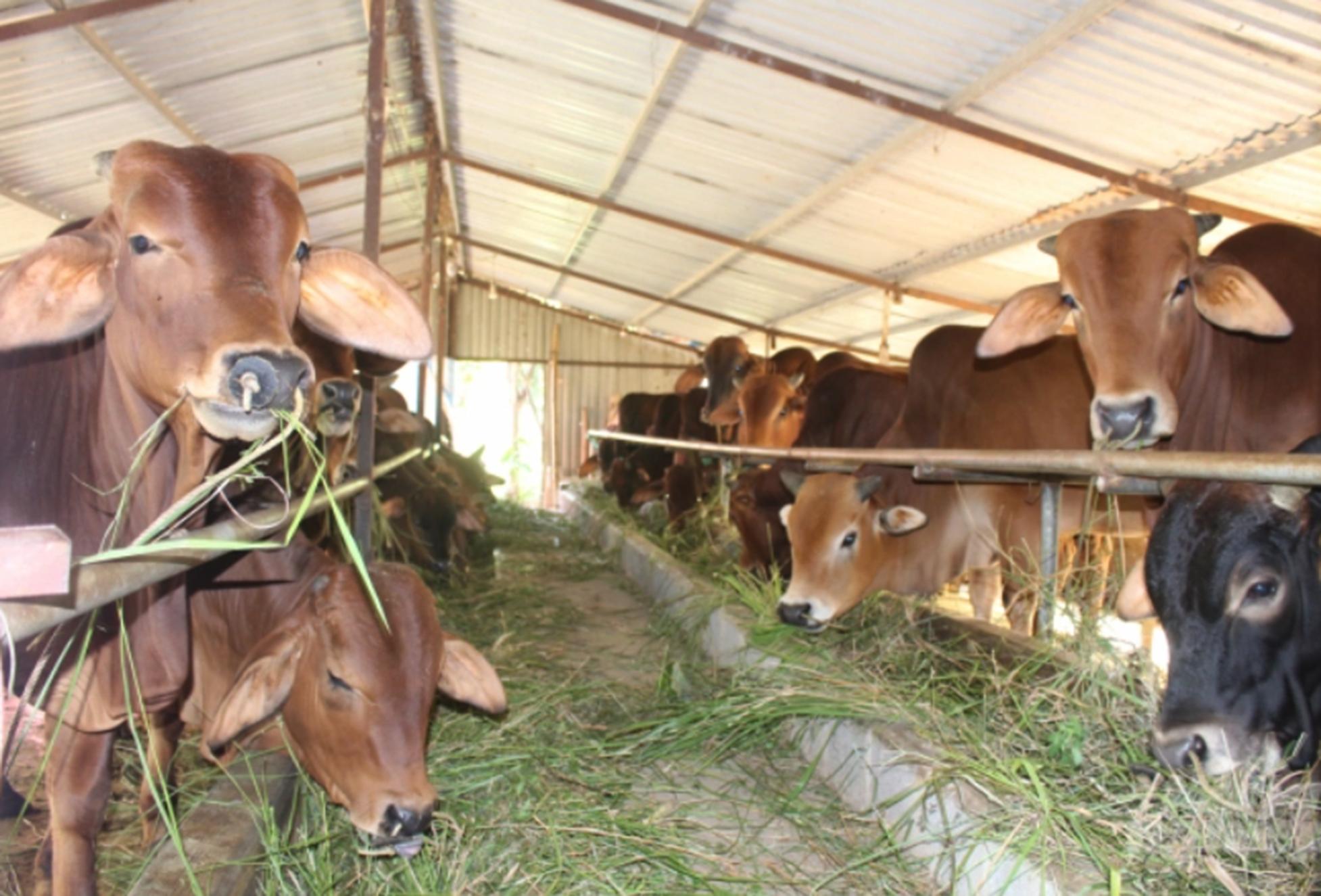 Bệnh viêm da nổi cục xuất hiện trên đàn bò tại Nam Định