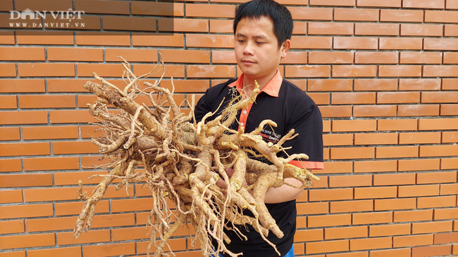 """Đào củ """"sâm người nghèo"""" lên làm mứt Tết, ai ăn cũng khen, 8X tỉnh Nam Định nhận đơn tới tấp"""