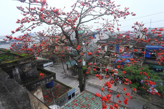Hoa gạo Thành Nam – Loài hoa đỏ cháy rực như biểu tượng cho sự hiên ngang và ý chí quật cường của người Nam Định.