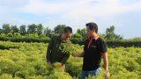Nam Định: Tốt nghiệp đại học về quê trồng đinh lăng thu tỷ đồng/năm