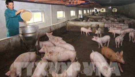 Hơn 80% số xã ở Nam Định hết dịch tả lợn châu Phi