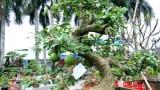 Hải Hậu: Đào tiên dáng long giá hơn 2 cây vàng chủ vẫn chưa gật đầu