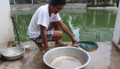 Nam Định: Sản xuất cá Koi giống, thu lãi 300 triệu đồng/năm