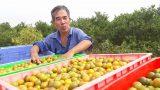 Nam Định: Gặp người nông dân thu tiền tỉ mỗi năm nhờ trồng quất dược liệu sạch