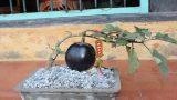 Hải Hậu: Mê tít những chậu bonsai cà tím siêu lạ mắt