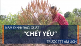 Nam Định: Đào, quất 'chết yểu' trước Tết âm lịch