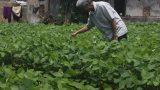 Nam Định: dân điêu đứng vì tin đồn nhảm đậu tương gây ung thư