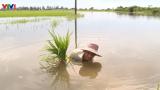 Hơn 7.000 ha lúa ở Nam Định phải cấy lại sau mưa bão