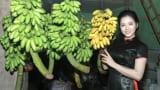 Về Nam Định ngâm thơ Tú Xương, ăn chuối ngự