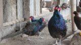 Giao Thủy: Nuôi 100 con chim Trĩ xanh, nhẹ nhàng lãi 1 tỷ đồng/năm