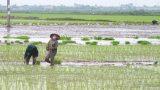 Nam Định chật vật vụ mùa do phải gieo cấy lại nhiều lần