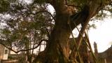 Ý Yên: Chuyện lạ về 'cụ' cây quý hiếm 600 tuổi