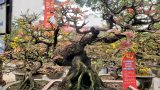 Hoàng mai thơm 120 tuổi rao giá 4 tỷ đồng, chờ đại gia rinh về chơi Tết