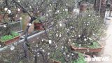 """Hoa mai trắng chơi Tết có nguồn gốc từ Nam Định với giá cực """" khủng"""""""