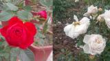 Nam Trực: Chăm hoa bán Tết: Đảm đang chăm vườn hoa hồng kiếm Tết