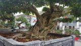 Phát sốt với sanh trăm tuổi giá 1,2 tỷ ở Nam Định