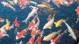 Video: Mục sở thị nuôi cá koi trên sông Hồng bỏ túi hàng tỷ đồng