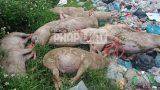 """Nam Định: Rùng mình khi tiêu hủy lợn """"5 không"""" tại xã Tân Thịnh"""