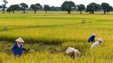 Nam Định: Năng suất lúa đạt 50 tạ/ha