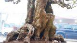 Nam Định: Cây khế cổ thụ trăm tuổi giá gần nửa tỷ đồng đẹp miễn chê