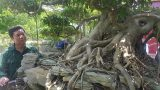 Nam Định: Lần đầu xuất hiện siêu phẩm cây sanh vừa lên thẳng, lại nằm ngang giá nửa tỷ