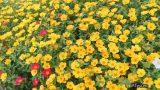 Mê mẩn vườn hoa mười giờ rực rỡ ven sông của chàng trai học kiến trúc mê hoa