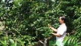 Bỏ nghề giáo viên về trồng bơ xen cà phê, thu hơn 2 tỷ/năm