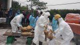 Tiêu huỷ 80 con lợn tại ổ dịch Nam Định