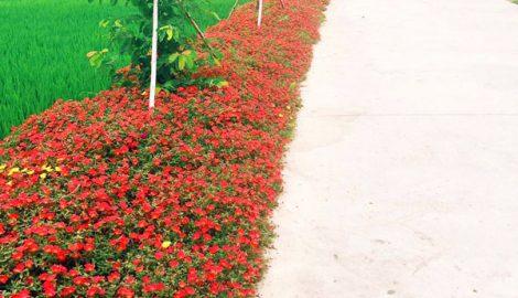 Thảm hoa mười giờ ven đường quê nông thôn mới, giản đơn nhưng đẹp như tranh vẽ