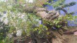 Lại xuất hiện 1 cây hoa giấy dáng siêu cực đẹp, giá 100 triệu