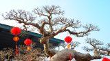 Cận cảnh cây sanh dáng rồng giá triệu đô được mua từ Nam Định