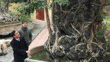 Doanh nhân đổi 8 lô đất lấy cây sanh cổ nhất châu Á