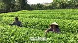 Phát triển vùng trồng cây ngưu tất ở xã Đại Thắng ( Vụ Bản)