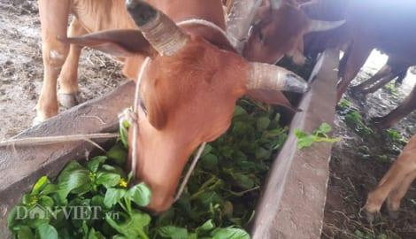 Clip: Rau xanh mơn mởn giá chỉ còn 1.000 đ/kg, dân nhổ cho… bò ăn