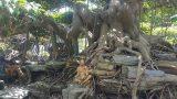 Nghĩa Hưng: Cây sanh dáng trực hoành được trả giá 1 tỷ đồng không bán