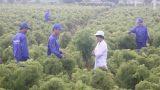 Cả làng chặt cây cảnh bạc tỷ trồng đinh lăng