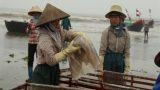 Nam Định: Mùa sứa biển Hải Lý Hải Hậu