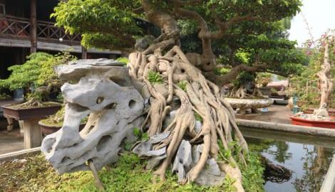 """Đại gia """"gạ"""" đổi 4 lô đất giá 9 tỷ lấy cây sanh cổ ôm đá đẹp hiếm có"""