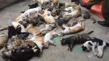 Nam Định: Hàng loạt con mèo bỗng lăn đùng ra chết bất thường