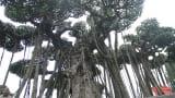Nam Trực: Xuất lộ cây sanh Nam Điền cổ có giá 10 tỷ đồng