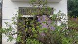 Nghĩa Hưng: Kiểng lạ 100 tuổi, có lá tỏa hương thơm độc đáo trên đất Thành Nam