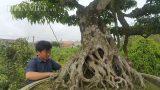 """Cây sanh 100 tuổi dáng lão mai của đại gia Nam Định khiến giới mê cây cảnh """"bấn loạn"""""""