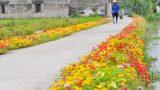Hải Hậu: Đường quê lãng mạn trong sắc hoa mười giờ