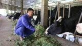 Từ 2 bàn tay trắng, trở thành tỷ phú nhờ…bò sữa