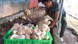 Nam Định: Kỹ sư địa chất về quê trồng đủ thứ nấm, lãi 400 triệu/năm